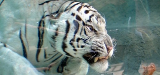 Odin, the Temple of the Tiger namesake, dives into the new 26,000 gallon pool