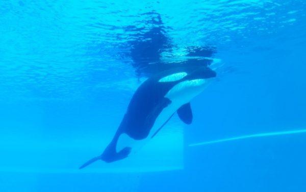 lone orca at marineland